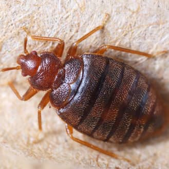 Bed Bug Control & Treatment - tylerpestcontrol.com